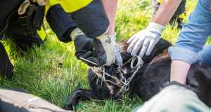 Hond Storm vast in rattenklem aan Robijndijk in Roosendaal