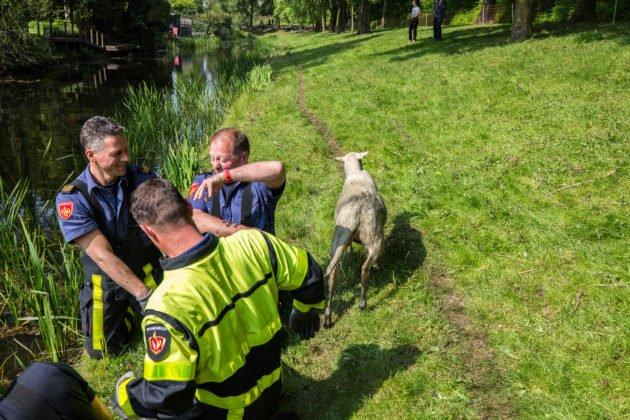 Brandweer redt weer schapen uit het water in Roosendaal